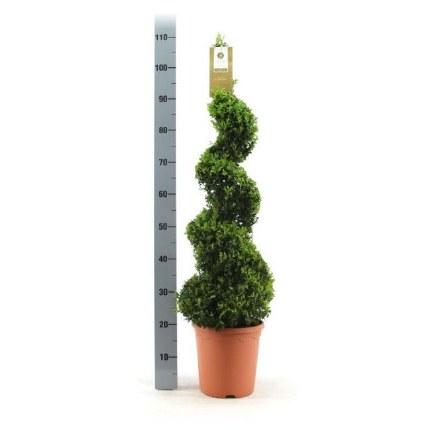 Buxus Sempervirens Spiral 70-80cm Tall