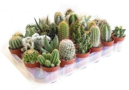 Cactus Mix P5.5