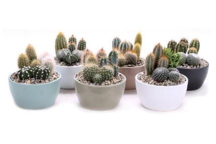 Cactus Mix in 15cm Ceramic Bowl