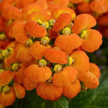 Calceolaria Orange