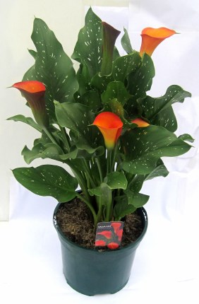 Calla Lilly 3L Mixed Colours