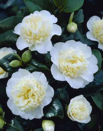 Camellia japonica 'Brushfield's Yellow' 60-80cm Tall 3 Litre