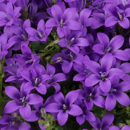 Campanula Ambella Intense Purple P19