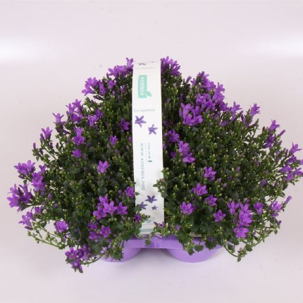 Campanula Ambella Intense Purple 3 Pack