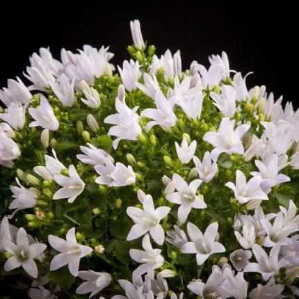 Campanula Ambella White 12cm Pot