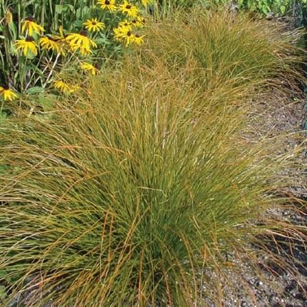 Carex Testacea Prairie Fire P14