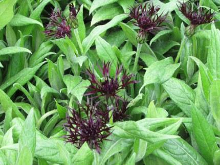Centaurea montana 'Black Sprite' | Perennial Cornflower