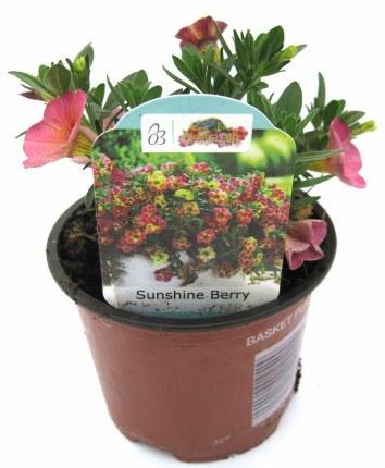Calibrachoa Chameleon Sunshine Berry 10cm