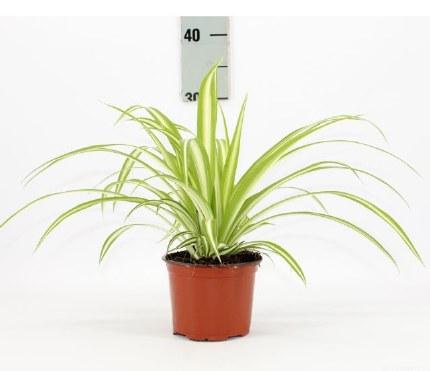 Chlorophytum com Variegatum P18
