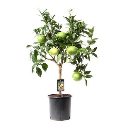 Citrus Grapefruit 90cm Tall