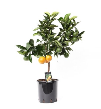 Citrus sinensis 'Orange' 80cm
