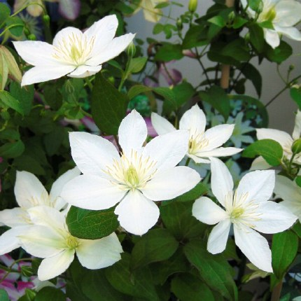 Clematis Baby Star 2L