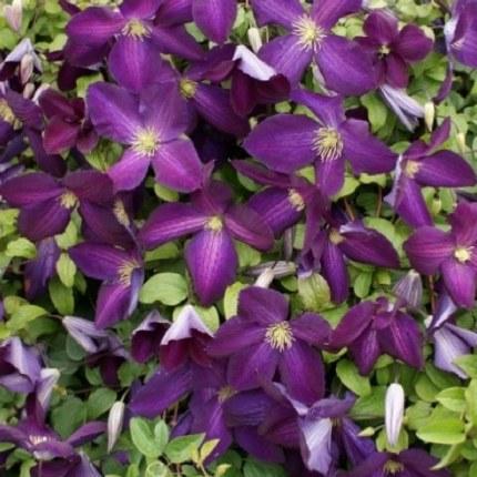 Clematis Jackmanii Purpurea 2L