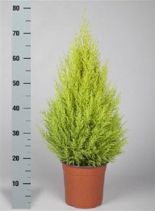 Cupressus m. Goldcrest Wilma | Monterey Cypress 75cm Tall