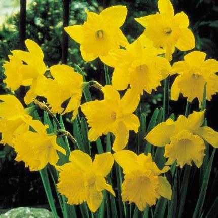 Daffodil - Narcissus 'King Alfred' - 7kg