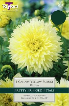 Dahlia 'Canary Yellow' x1