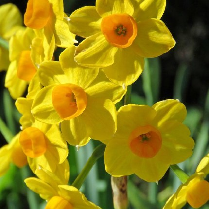 Daffodil - Narcissus 'Grand Soleil D'Or'