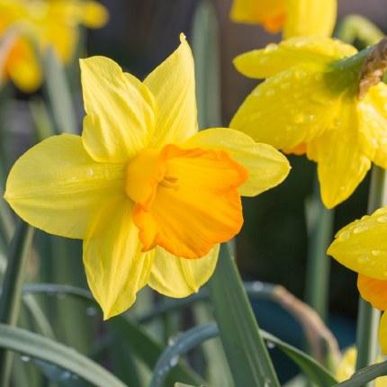 Daffodil - Narcissus 'Lothario' 6kg