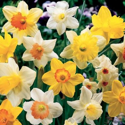 Daffodil - Narcissus Mixed -2kg Carri Pack