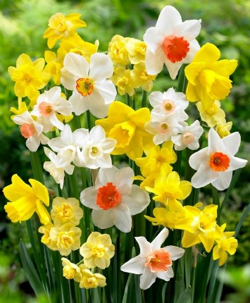 Daffodil - Narcissus Naturalising Mix