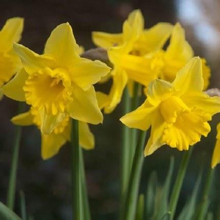 Daffodil - Narcissus 'Tamara' - 25 pack
