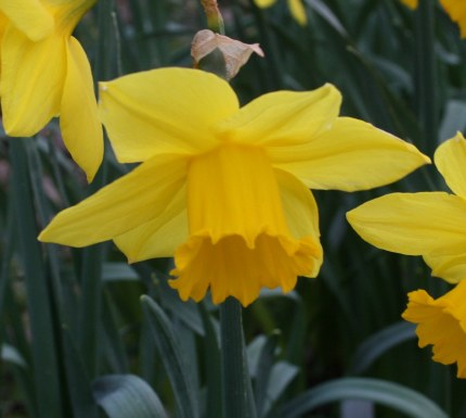 Daffodils Narcissus 'California' 3kg Carri Pack