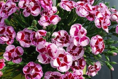 Dianthus 'Charmy'