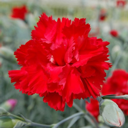 Dianthus Lady in Red Alpine in a 9cm Pot