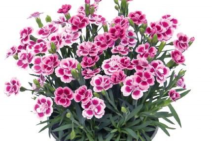 Dianthus Pink Kisses in a 12cm Pot