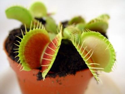 Dionaea Muscipula - Venus Flytrap P9