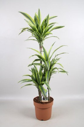 Dracaena Lemon Lime 100-115cm Tall