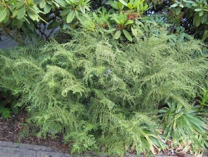 Dryopteris filix-mas 'Linearis Polydactila'
