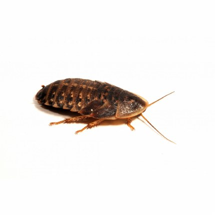 Dubia Roaches 25-30mm 6 Pack