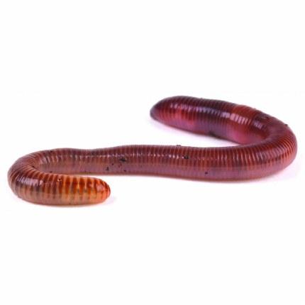 Earthworms 50-75mm