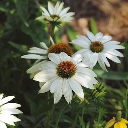 Echinacea Sunseekers White