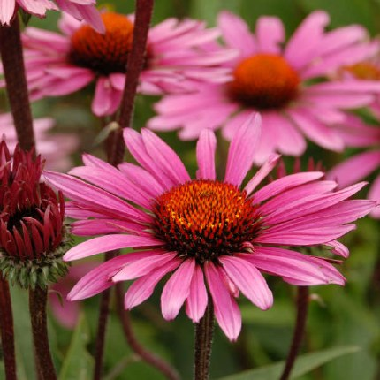 Echinacea purp. Fatal Attraction