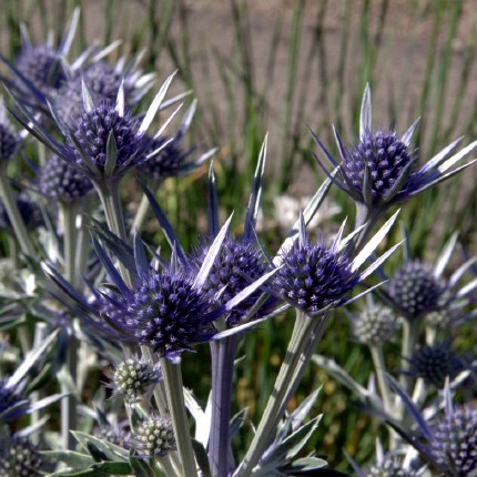 Eryngium 'Big Blue'