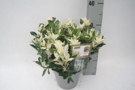 Euonymus 'Pierrolino' 2ltr pot