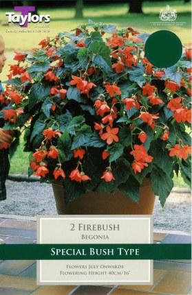 Begonia Firebush Exotic