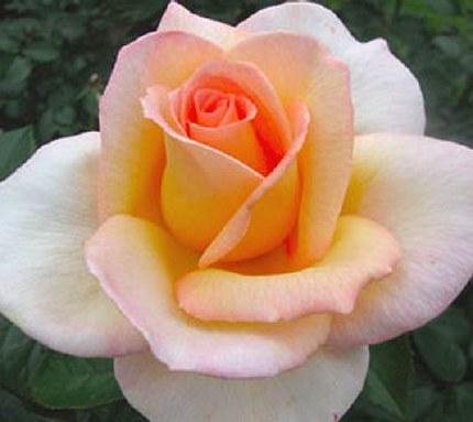 Fragrant Dream Hybrid Tea Rose - 3 Litre