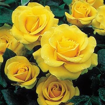 Freedom Hybrid Tea Rose  - 3 Litre