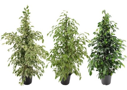 Ficus benjamina mix 135cm tall