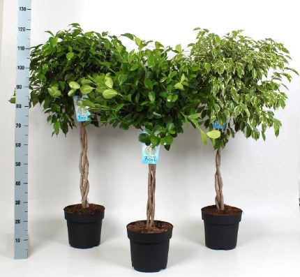 Ficus mix with plaited stem 110-115cm Tall