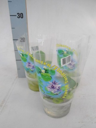 Floating pond plant CUP