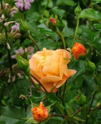 Flower Carpet Amber Ground Cover Rose - Repeat Flowering