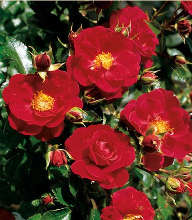 Flower Carpet Rose Ruby - Repeat Flowering - 3.5 Litre