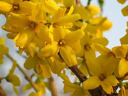 Forsythia intermedia goldrausch - 3ltr