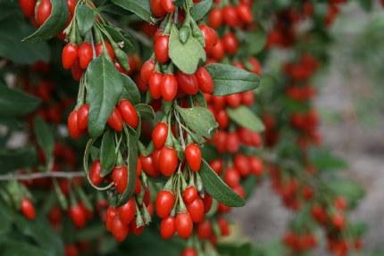 Goji Berries   Lycium barbatum 'Sweet Gogi' 2 Litre