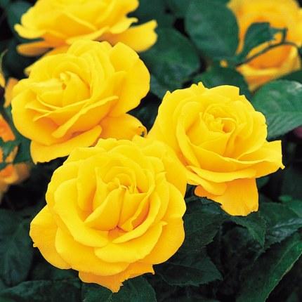 Golden Wedding Floribunda Rose - 5.5 Litre