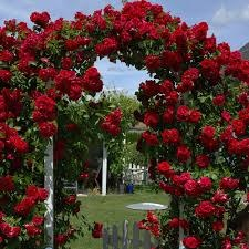 Grand Hotel Red Climbing Rose 5 Litre